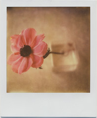 px680_test_anemone2 (daveotuttle) Tags: polaroid sx70 testfilm impossibleproject pioneerfilm px680cool