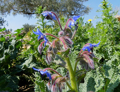 Borago officinalis (Marlis1) Tags: blue spain herbs catalunya wildflowers borage tortosa marlies borretsch borratja borragem bourracheofficinale mediterraneangardens borroin
