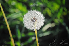 Make A Wish (JeneeMathesPhotography) Tags: new sunlight flower green kids fun spring weed nikon soft sweet bokeh memories happiness blow dandelion bloom wish shh makeawish jenee d3000