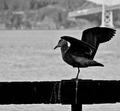 You Don't Need Two Legs to Fly (startwithz) Tags: sanfrancisco bird wings water bridge baybridge bay bayarea sf onelegged flight fly nikon d7000 18200vr dof depth blackandwhite bw