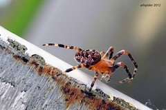 (arlspider) Tags: gardenspider spidersilk crossspider pedipalps opisthosoma buildingspiderweb araneusdiedematus