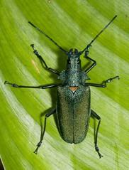 Scatopyrodes beltii beltii, male (Caranpaima) Tags: colombia bahia beetles solano choco cerambycidae escarabajos cucarron prioninae scatopyrodes biogeografico