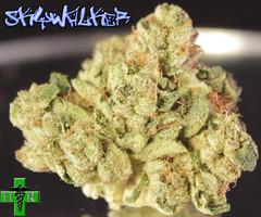 Skywalker Strain Photos (Humboldt Relief) Tags: weed 420 og pot marijuana cannabis skywalker medicalcannabis ogkush medicalmarjuana