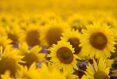One Singular Sunflower (TPorter2006) Tags: 2012 flower june rural sherman sunflower tporter2006 texas herowinner ultraherowinner bigmomma fav10 medal