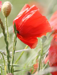 Poppy in the wind (loobyloo55) Tags: flower nature fauna poppy floraandfauna fantasticnature