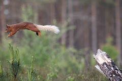 Red Squirrel, Glen Feshie 7 (Bull of the Bog) Tags: red squirrel flight glen cairngorms feshie northshots