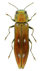 Agrilus fortunatus (Kohichiroh) Tags: japan insect stack specimen coleoptera buprestidae jewelbeetle woodboringbeetle