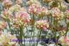 100_1195 (sierrarainshadow) Tags: lake carson pass trail eriogonum sedum var winnemucca ovalifolium nivale lanceolatum
