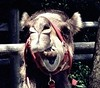 (rafalweb (moved)) Tags: red portrait apple nature expression teeth camel bronxzoo chewing straps iphone photoscape zoomface animalscamel