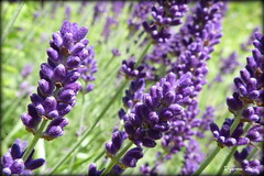 Purple Haze - Tribute to Jimi Hendrix - SOOC (pixmad) Tags: flowers nature closeup lumix lavender july insects panasonic southport 2012 raynox150 heskethpark fz45