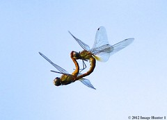 Dragonflies Aerial Mating - Bayou Courtableau, Louisiana (Image Hunter 1) Tags: nature flying wings louisiana dragonflies dragonfly flight bayou swamp mating marsh canoneos7d bayoucourtableau