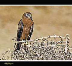 Pollo Aguilucho Cenizo (Circus pygargus) (eb3alfmiguel) Tags: aves aguilucho rapaces cenizo diurnas