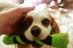 Puppy Love (rhome_music) Tags: dog puppy play sophie spaniel dogtoy cavalierkingcharles