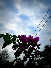 IMGP8393 (1guy2be) Tags: pink color southamerica landscape flora purple pentax florida magenta fuchsia vine bougainvillea evergreen santarita thorny veranera showy bugambilia buganvílea trinitaria richardelliott flordepapel rickelliott 1guy2be elizabethangus in2it2much richardpriceelliott homesanctuary elizabethangusbougainvillea buɡɐ̃ˈviʎ̟ɐ bugambiliasantarita bugambiliasantaritabougainvillea