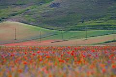 drawing (petree.) Tags: flowers red landscape fiori paesaggio castelluccio montisibillini fioritura pianedicastelluccio