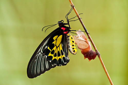 Southern Birdwing Female