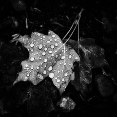 Drops of Maple (MDanielsonPhoto) Tags: blackandwhite bw macro ma massachusetts newengland mapleleaf raindrop