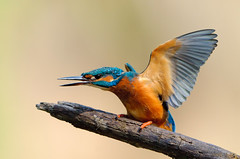 It's good to be the King! (Lucky Lucas) Tags: blue orange color bird nature king wildlife kingfisher actionshot d300 alcedoatthis ijsvogel 500mmf4