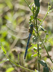 Anax empereur (Tifaeris) Tags: insecte libellule empereur anax odonate anaxempereur
