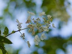Hydrangea paniculata (Polotaro) Tags: flower nature pen olympus   zuiko ep1    gzuiko50mmf14