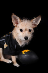 Saints Fan (Stacey Warnke Photography) Tags: portrait dog fan football saints canine jersey pooch kenzie mckenzie