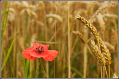 Field Poppy at harvest time. (Linton Snapper) Tags: red canon weed wheat harvest poppy wildflower cambridgeshire linton