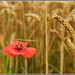 Field Poppy at harvest time.