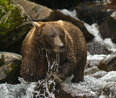 Positioned For Success (TNWA Photography (Debbie Tubridy)) Tags: wild usa nature water alaska river waterfall fishing fisherman nikon waiting rocks natural fierce wildlife bears salmon adventure northamerica environment remote hunter hungry wilderness habitat survival dripping exciting patience obsessed brownbears katmai bearviewing katmainationalpark coth5 coastalbrownbears katmaicoastalbrownbears tnwaphotography