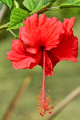 Hibiscus (chooyutshing) Tags: flower singapore hibiscus marinabay baysouth gardensbythebay nationalparksboard