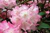 Botanischer Garten (06) (Pixelteufel) Tags: park pflanzen blumen rhododendron landschaftspark blüte garten stadtpark botanik kurpark blumenschmuck sträucher parkanlage floristik gartenanlage
