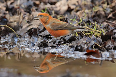 Loxia curvirostra  Common Crossbill (Roger Wasley) Tags: birds gloucestershire british common forestofdean crossbill loxiacurvirostra canoneos7dmarkii