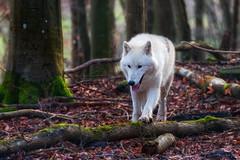 Polarwolf (XxJakeBluesxX) Tags: wolf kasselburg polarwolf wolfsgehege