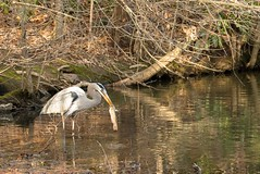 A Heron's Lunch (cwhitted) Tags: heron durham samsung animalplanet dukegardens primelens sarahpdukegardens samsungnx60mmf28 samsungnx60mmf28macro samsungnx1100