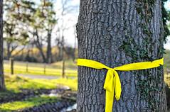 ... tie a yellow ribbon ... (jane64pics) Tags: tree yellow oak ribbon yellowribbon gcc week5 songtitle tieayellowribbonroundtheoldoaktree greystonescameraclub janefriel 52in2015