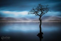 Milarrochy Blue (wilsn photographics) Tags: tree water fog scotland hills bluehour lonetree 2014 milarrochybay