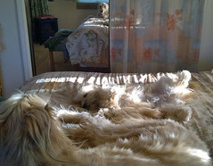 Saturday Morning Reflections (Sedona Clearing House) Tags: dog pet sun love dogs jack mirror bed veil joey pair reflect together blonde submit loyal afghanhound filtered submissive
