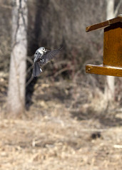 "Titmouse coming in for landing 2 • <a style=""font-size:0.8em;"" href=""http://www.flickr.com/photos/30765416@N06/16285885474/"" target=""_blank"">View on Flickr</a>"
