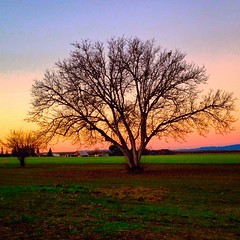 I just can't get enough of morning meetings with my favorite tree. #winter #Sacramento #trees #tree #blue #landscape #iPhone #California #walnut #favoritetree #SacramentoValley #goldenhour #sunrise (Rockmaven56) Tags: pink winter orange tree sunrise square squareformat sacramento goldenhour favoritetree iphone sacramentovalley iphoneography instagramapp uploaded:by=instagram