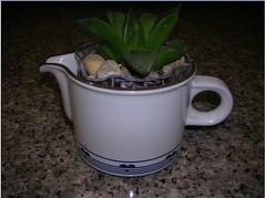Cactus-Tillandsia-3b (cuirung) Tags: jade gollum haworthia airplant crassula felina faucaria perforata tigerjaw cactustillandsia bulbbolsa