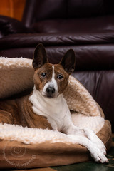 "1.12 Raisin ""Wake me when it's Spring"" (jezandia) Tags: dog basenji raisin littledoglaughedstories 12monthsfordogs15"