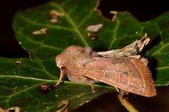 Common quaker (Orthosia cerasi) (Ian Redding) Tags: uk nature fauna insect bath wildlife moth british nationaltrust avon invertebrate arthropod bathnes skylinewalk