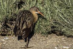 Ridgway's Rail (Bob Gunderson) Tags: california birds northerncalifornia rails eastbay alamedacounty ralluslongirostris arrowheadmarsh canoneos7dmarkii ridgwaysrail