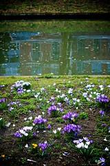 State of Mind/Dreamwalking (Kym.) Tags: pink white flower green water grass yellow walking canal purple walk thenetherlands crocus stateofmind greensflowers photoslyrics dreamwalking walkingbymyself