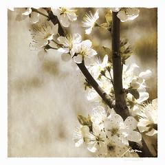 pom (patrice ouellet) Tags: pom pommes appleblossoms patricephotographiste