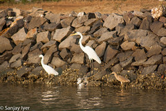 Little Egret, Great Egret & Indian Pond Heron (S Sanjay Iyer) Tags: flickr cannanore