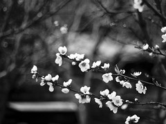 Tímida primavera (_Zahira_) Tags: flowers bw flores flower tree primavera blanco lafotodelasemana spring bokeh flor olympus bn árbol jerte cerezo 50mmf18 ngr e500 uro ltytr1 50mmom