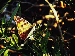 Painted Lady (tinlight7) Tags: butterfly paintedlady rhazyastricta wadihelo sharjah uae taxonomy:kingdom=animalia animalia taxonomy:phylum=arthropoda arthropoda taxonomy:class=insecta insecta taxonomy:subclass=pterygota pterygota taxonomy:order=lepidoptera lepidoptera taxonomy:superfamily=papilionoidea papilionoidea taxonomy:family=nymphalidae nymphalidae taxonomy:subfamily=nymphalinae nymphalinae taxonomy:tribe=nymphalini nymphalini taxonomy:genus=vanessa vanessa taxonomy:species=cardui taxonomy:binomial=vanessacardui belledame distelfalter vanessacardui vanesapintada taxonomy:common=belledame taxonomy:common=distelfalter taxonomy:common=paintedlady taxonomy:common=vanesapintada taxonomy:kingdom=plantae plantae taxonomy:clade=tracheophyta tracheophyta taxonomy:phylum=magnoliophyta magnoliophyta taxonomy:class=magnoliopsida magnoliopsida taxonomy:order=gentianales gentianales taxonomy:family=apocynaceae apocynaceae taxonomy:subfamily=rauvolfioideae rauvolfioideae taxonomy:genus=rhazya rhazya taxonomy:species=stricta taxonomy:binomial=rhazyastricta inaturalist:observation=1347801