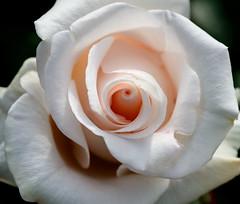 Macro White Rose (jhambright52) Tags: macro ngc npc whiterose doublefantasy macroflower macrorose macrowhiterose