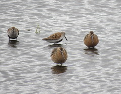 Dowitchers and Dunlin (Bug Eric) Tags: ohio usa nature birds animals outdoors wildlife birding greatlakes northamerica migration ornithology birdwatching dunlin swanton shorebirds longbilleddowitcher may142016