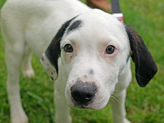 Hound Puppies_14 (AbbyB.) Tags: rescue dog pet puppy newjersey puppies hound canine shelter adopt adoptable shelterpet petphotography easthanovernj mtpleasantanimalshelter